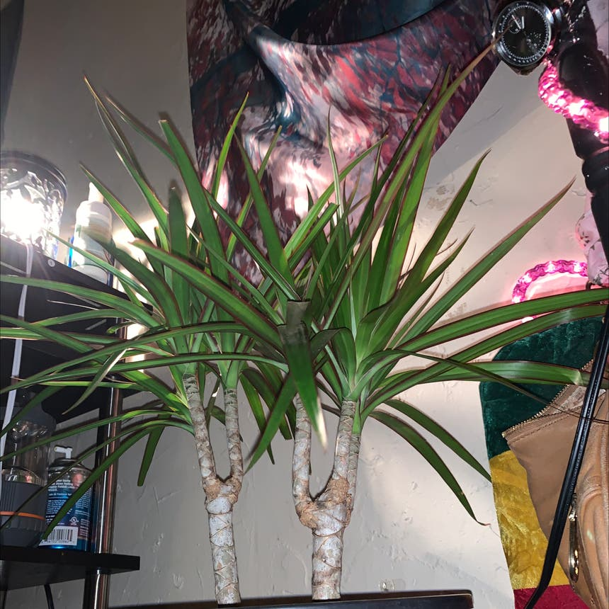 Dragon tree plant in Somewhere on Earth