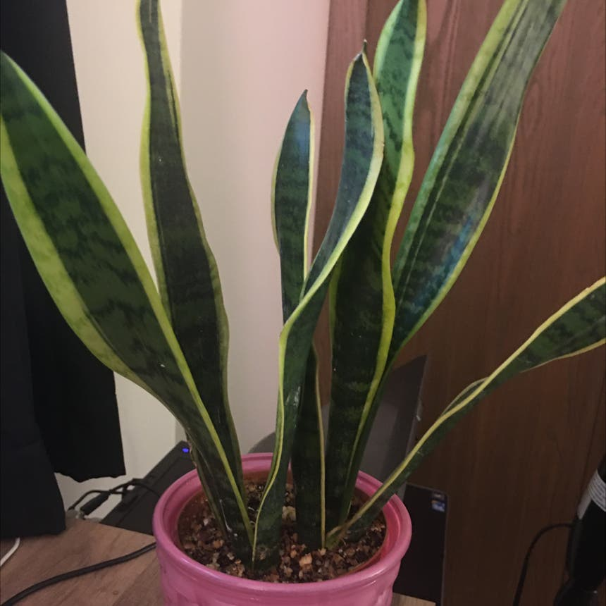 Snake Plant plant in Somewhere on Earth