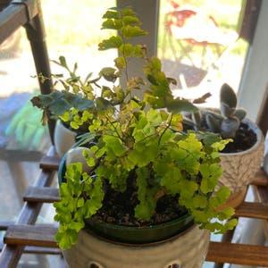 Maidenhair fern plant photo by Elyse named Rumplestiltskin on Greg, the plant care app.