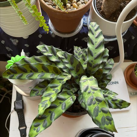 Photo of the plant species Calathea Lutea by Jxkie named Rattlesnake on Greg, the plant care app