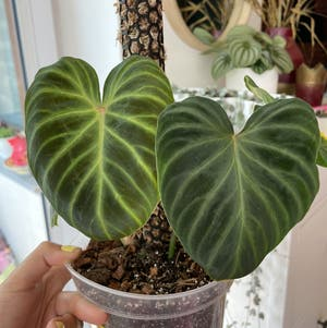 Ecuador Philodendron plant photo by Misia named Verrucosum on Greg, the plant care app.