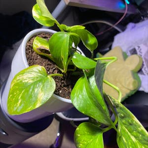 Golden Pothos plant photo by Marisa named Marcia on Greg, the plant care app.