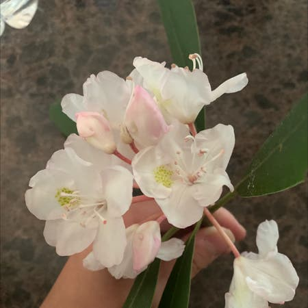 Photo of the plant species Rosebay Rhododendron by Cab128 named A on Greg, the plant care app