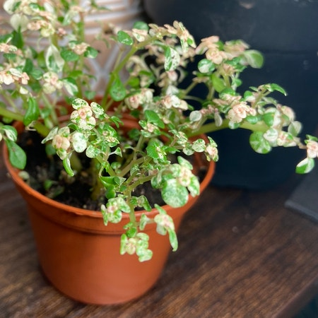 Photo of the plant species Gunpowder Plant by Venusthightrap named Variegated Artillery Fern on Greg, the plant care app