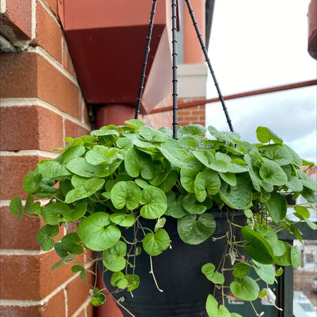 Photo of the plant species Dichondra Repens by J named felix on Greg, the plant care app