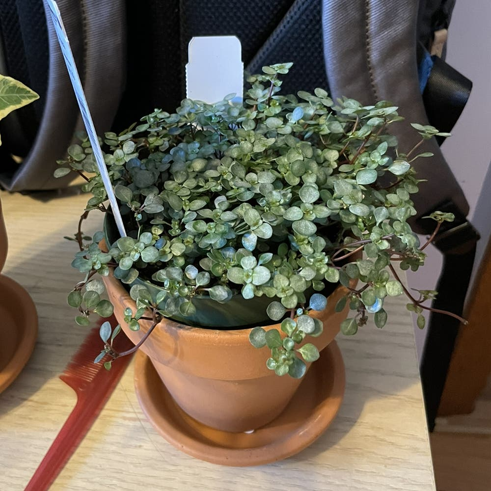 Photo of the plant species Silver Sparkle Pilea by Loravocado named Pete on Greg, the plant care app