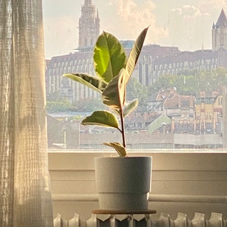 Rubber Plant plant in Budapest, Budapest