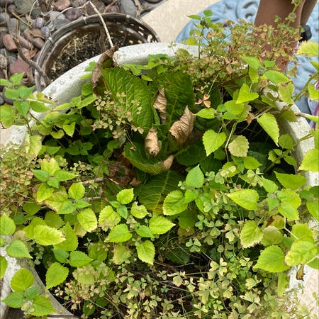 Photo of the plant species Crabweed by Sandra named Your plant on Greg, the plant care app