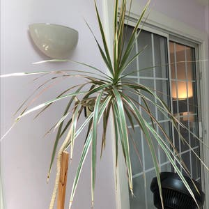 Dragon tree plant photo by Wanda named Your plant on Greg, the plant care app.