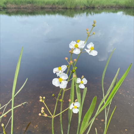 Photo of the plant species Duck-potato by Devon named Your plant on Greg, the plant care app