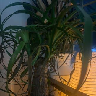 Ponytail Palm plant in Powhatan, Virginia