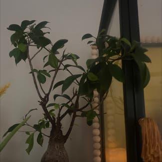 Ficus Ginseng plant in Powhatan, Virginia