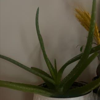 Aloe vera plant in Powhatan, Virginia