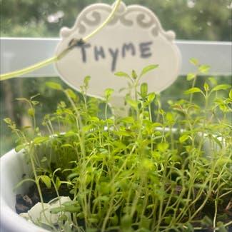 Common Thyme plant in Powhatan, Virginia