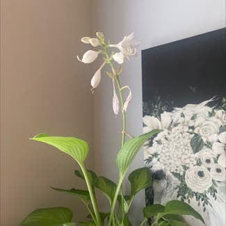 Siebold's Plantain Lily plant in Powhatan, Virginia