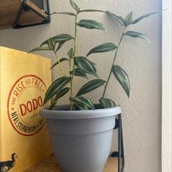 Zebrina plant