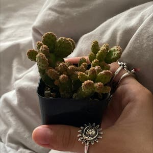 Rating of the plant Lady Finger Cactus named gold lace cactus <3 by Adz on Greg, the plant care app