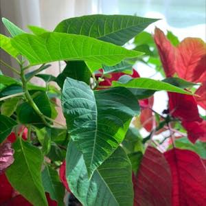 Poinsettia plant photo by Dora named Figyonce on Greg, the plant care app.