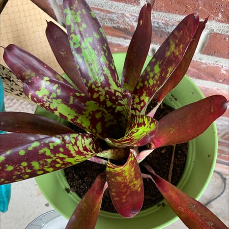 Photo of the plant species Neoregelia 'Raphael' by Sasha named Ulysses S Plant on Greg, the plant care app