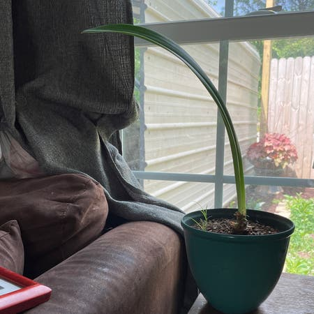 Photo of the plant species Striped Barbados Lily by Christyn named Uno on Greg, the plant care app