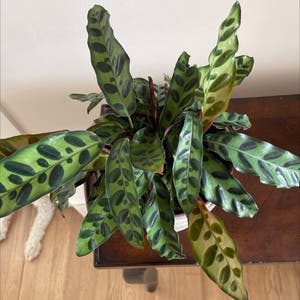 Rattlesnake Plant (prev. Calathea lancifolia) plant photo by Diana named Callie on Greg, the plant care app.