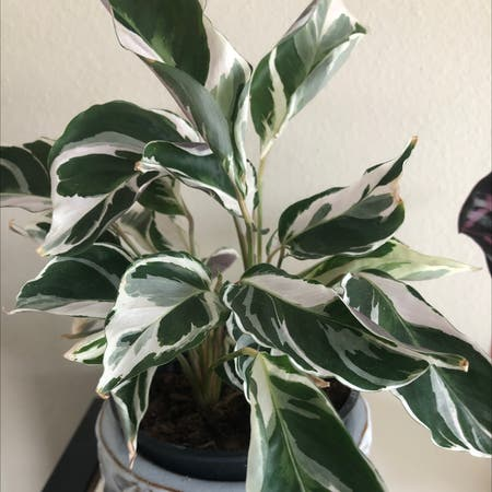 Photo of the plant species Calathea 'White Fusion' by Thelawgiraffe named Peppermint on Greg, the plant care app