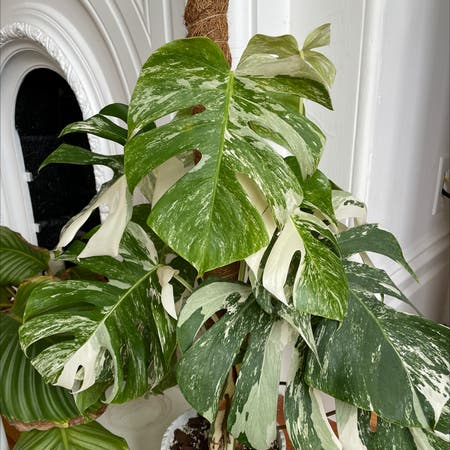 Photo of the plant species Monstera 'Albo' by Lothlorien named Monstera Albo on Greg, the plant care app