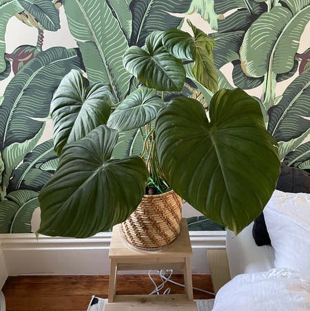 Photo of the plant species Philodendron Pastazanum by Lothlorien named Pastazanum on Greg, the plant care app