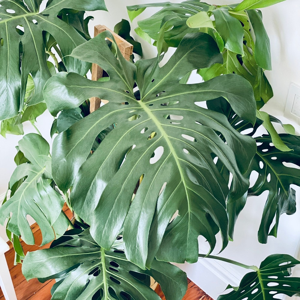 Photo of the plant species Monstera by Lothlorien named Monstera D. on Greg, the plant care app