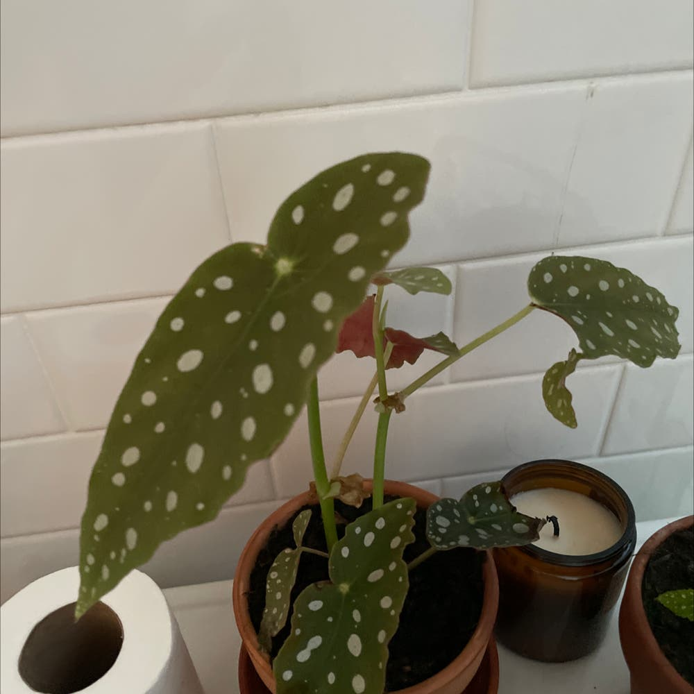 Photo of the plant species Polka Dot Begonia by Lothlorien named Begonia on Greg, the plant care app