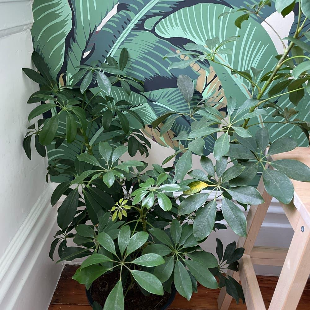 Photo of the plant species Dwarf Umbrella Tree by Lothlorien named Schlefflera Arboricola on Greg, the plant care app