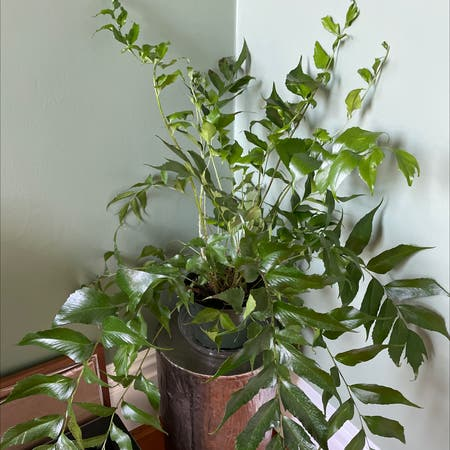 Photo of the plant species house holly-fern by Lothlorien named Holly Fern on Greg, the plant care app