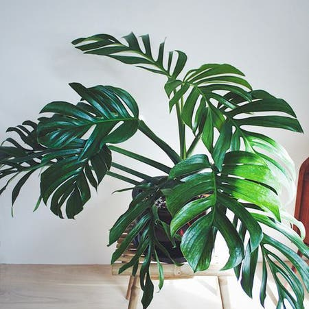 Photo of the plant species Monstera pinnatipartita by Lothlorien named Monstera Pinnatipartita on Greg, the plant care app