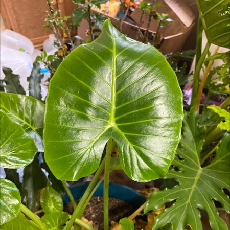 Photo of the plant species Elephant Ear Philodendron by Tatersntits named Elephant ear on Greg, the plant care app