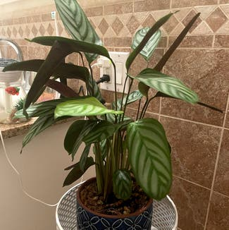Never Never Ctenanthe plant in Somewhere on Earth