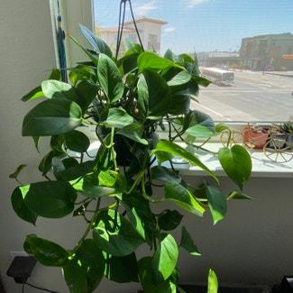 Pothos 'Jade' plant in San Carlos, California