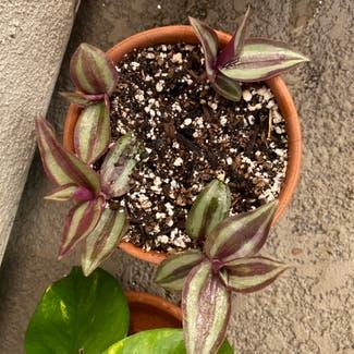 Zebrina plant in San Carlos, California