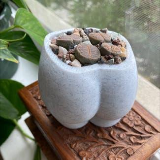 Living Stones plant in San Carlos, California