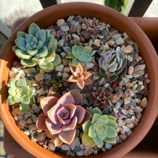 Pearl Echeveria plant in San Carlos, California
