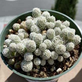 Thimble Cactus plant in San Carlos, California
