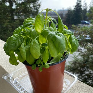 Sweet Basil plant in San Carlos, California