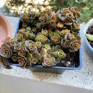 Corsican Stonecrop plant in San Carlos, California