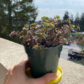 Creeping Inch Plant plant in San Carlos, California