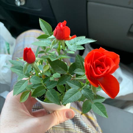 Photo of the plant species Miniature Rose by Oliver named Scarlett on Greg, the plant care app