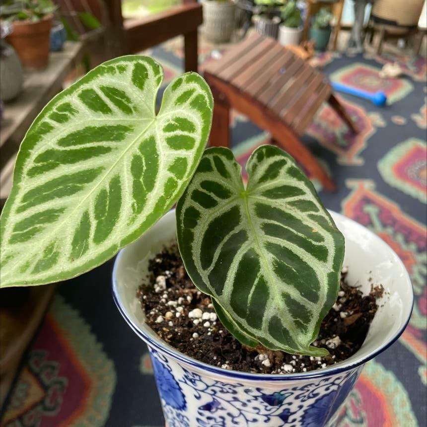 Crystal Anthurium plant