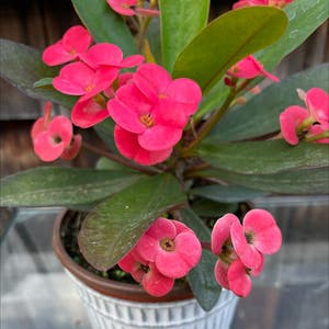 Crown of Thorns plant photo by Erodplants named Your plant on Greg, the plant care app.
