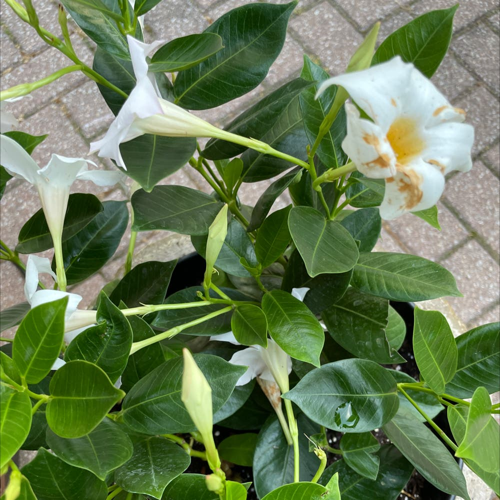 Photo of the plant species Dipladenia 'Rio' by Erodplants named Your plant on Greg, the plant care app