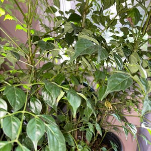 China Doll Plant plant photo by Erodplants named Your plant on Greg, the plant care app.