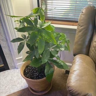Money Tree plant in Nashua, New Hampshire