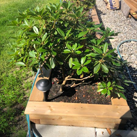 Photo of the plant species Big-laurel by Ralph named Your plant on Greg, the plant care app